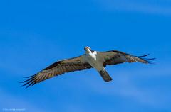 Osprey (Peter Bangayan) Tags: nature birds is wildlife 7d usm osprey f4l ef300mm