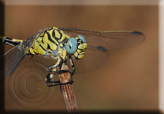Onychogomphus forcipatus macho, Green-eyed Hook-tailed male (Fotografa de Naturaleza de Paco Moreno Gmez) Tags: naturaleza rio fauna flora dragonfly huelva verano liblula ribera fotografa aracena odonata anisoptera odiel odonato