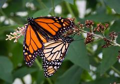 Monarchs (Dalliance with Light) Tags: macro nature butterfly newjersey unitedstates nj monarch mating rutgers butterflyhouse danausplexippus southbrunswicktownship davidsonsmillpondpark earthcenter