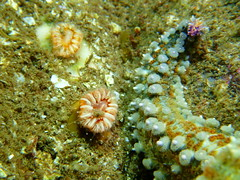 Devonshire Cup Coral (K Summerbell) Tags: uk sea cup nature coral scotland marine underwater starfish wildlife anemone freediving snorkelling spiny echinoderm devonshire gairloch westerross