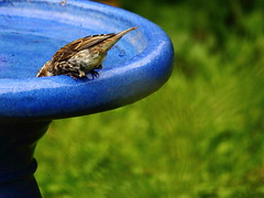 What's a Guy Gotta Do to Get a Drink Around Here? (Jemsabell) Tags: bird birdbath drinking sparrow lowwater