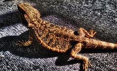 Ziggy Disc (Michael Anthony Ralph) Tags: pet photoshop carpet reptile lizard hdr highdynamicrange beardeddragon ziggy taryn photomatixpro tonemapping hdrmix detailenhancer iphone5 lizarddisc