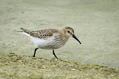 Dunlin 002 (Steve Birt) Tags: bird canon calidris alpina reservoir 300mm oxford 7d f28 oxfordshire dunlin wading wader farmoor calidrid