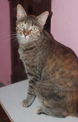 Dulce 26 (Asociacin Defensa Felina de Sevilla) Tags: espaa sevilla gatos felinos animales gatitos adoptar protectora adopciones apadrinar gatosurbanos defensafelina asociacindeanimales coloniasdegatos proteccindegatos activismoporlosanimales