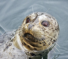 Who is watching who? (Gill Stafford) Tags: ocean sea canada color colour mammal bc pacific image harbour britishcolumbia victoria vancouverisland photograph seal fishermanswharf floatingvillage gillstafford