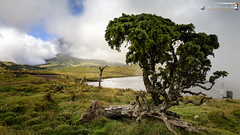 Juniper at Lagoa do Capitão (dieLeuchtturms) Tags: portugal europa europe pico juniper azores açores atlantik wacholder 16x9 ilhadopico juniperus azoren pontadopico lagoadocapitão kurzblättrigerwacholder