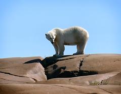 Polar Bear (PhotoGizmo) Tags: manitoba polarbear churchill