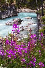 Blue and Pink (isaac.borrego) Tags: flowers river water canyon rocks plants marblecanyon rockymountains kootenaynationalpark britishcolumbia canada canonrebelt4i kootenay nationalpark canadianrockymountains flower
