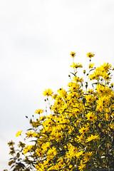 21092014-IMG_1140 (Nicola Pezzoli) Tags: flowers italy flower nature canon nicola natura val giallo 400 leffe 100 fiori bergamo pezzoli gandino ceride