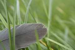close_feather (tiki.thing) Tags: feather grass texturetuesday 7daysofshooting week2 birds green grey