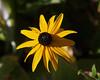 0008420   (Explore 09-30-2014) (Shakies Buddy) Tags: canada flower yellow garden nb daisy 6000views ©allrightsreserved nbphoto