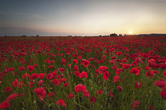 Poppy Sunset (djshoo) Tags: flowers sunset floral field sundown poppy summertime 2015