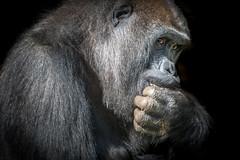 Eating & Watching (helenehoffman) Tags: africa conservationstatuscriticallyendangered primate sandiegozoosafaripark silverback gorilla animal gorillagorillagorilla mammal ape imani westernlowland