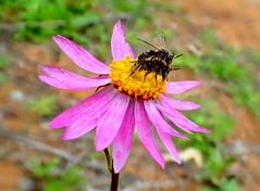 EVERLASTING LOVE........ (Lani Elliott) Tags: wasp wasps insect matingwasps flower everlastingdaisy westernaustralia nature naturephotography macro upclose closeup bokeh pink macrounlimited