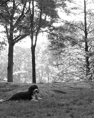 Bailey Relaxing in Central Park NYC_May_21__2010_0051 (Scott Yeckes) Tags: animals dogs nyc newyork animalstill blackwhite blackandwhite centralpark centralparknyc dog dogatrest dogportrait manhattan morning morninglight portuguesewaterdog trees