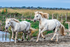 2016 Best Two Camargue Stallions (6) (maskirovka77) Tags: saintlaurentdaigouze languedocroussillonmidipyrén france languedocroussillonmidipyrénées fr stallion stallions createaway
