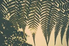Dicksonia antarctica sunset (c.young) Tags: sunset sun man fern tree evening soft australia antarctica victoria frond coastal nsw tasmania newsouthwales ferns plantae mygarden treefern fernery syn pteridophyta dicksoniaantarctica dicksonia synonym sequeensland fernfrond dicksoniaceae pteridophyte manfern cyatheales pteridophytes pteridopsida softtreefern pteridology pteridologist antarcticum sonynex5r balantiumantarcticum balantium
