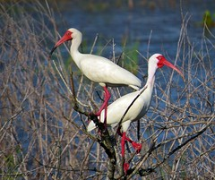 American White Ibis (Gary Helm) Tags: trees cactus usa white bird nature water colors grass leaves birds canon outside us sticks nest florida wildlife feathers roots ibis breeding round northamerica preserve rushes shrubs wetland verobeach incubation wastewater sx50hs garyhelm