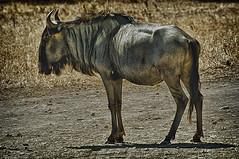 C2159-u hembra (Sigean) (Eduardo Arias Rbanos) Tags: grass animals sex fauna nikon sexo antelope animales horn hoof hdr gnu herbivore hierba d300 u cuerno pezua antlope africanfauna herbvoro eduardoarias faunaafricana eduardoariasrbanos
