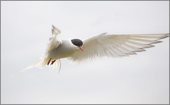 Artic tern (wmstuart5925) Tags: canon islands inner arctic 7d billy farne tern staple seahouses 100400 shiels