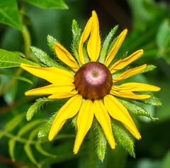 A Day Later (ScreaminScott) Tags: flower blackeyedsusan