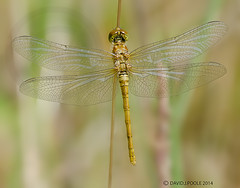Female Common Darter (Crazybittern1) Tags: dragonflies insects commondarter sigma70300mmmacro lancashirewildlifetrust middletonnaturereserve nikond70000