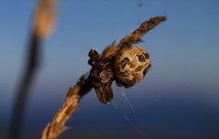 Sveipkngul (Larinioides cornutus) (Haraldur Ketill) Tags: macro 50mm spider iceland plasticfantastic vivitar sland sveitin 50mmf18 gardenspider kngul araneidae krosskngul svnanes macrotubes larinioidescornutus furrowspider sveipkngul