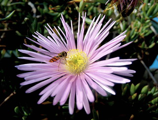 HOVER FLY on LAMPRANTHUS