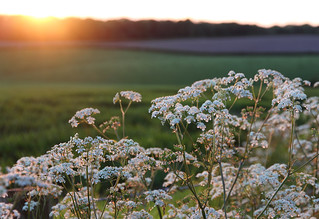 Cow parsley at sunset, Highland Brow, Galgate, Lancaster, UK