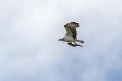 Osprey 2 (amcgdesigns) Tags: bird trout osprey birdofprey lightroom birdinflight tain cs6 animalsandbirds eos7d lightroom4 andrewmcgavin