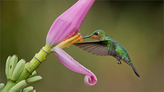 Green-crowned Brilliant Feeding in Flight (Raymond J Barlow) Tags: travel pink green bird costarica hummingbird wildlife ngc birdinflight raymondbarlow visipix raymondbarlowphototours