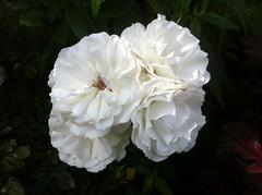 roses (alanpeacock2) Tags: flowers roses summer white rose flowersinmygarden fourofakind