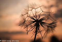 Make a Wish (Sandy Sharples) Tags: sunset flower detail backlight dof meadows seed dandelion wildflower goldenhour