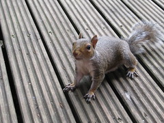 Curious Squirrel (Nibbler1977) Tags: wild cute nature animal animals canon rodent squirrel squirrels wildlife tag tail powershot deck decking matlock inquisitive bushy a480 nibbler1977