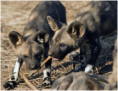 African Wild Dog pups - giving it stick! (A.M.G.1) Tags: africa wild dogs nature animals canon southafrica photo flickr photographer natural wildlife review z krugernationalpark borntobewild goodman andygoodman naturesfinest southafricanwildlife photography outstandingshots naturesgallery amg1 ultimateshot southernafricanwildlife wildlifesouthafrica naturewatcher theperfectphotographer nginationalgeographicbyitalianpeople btbw exquisiteimage wild wildlifeinsouthernafrica goodman africanwildlifephotographer wildilfephotographer