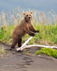 Brown Bear Ham (MyKeyC) Tags: bear cub grizzly kenai silversalmon beautiesbeasts silversalrmoncreeklodge
