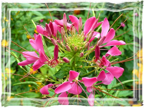 ~~ In our City Park - Cleome_hassleriana_pink / Spider Flowers /