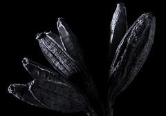 Spent (ashley2058) Tags: flower macro death blackwhite 7d lowkey tamron90mm