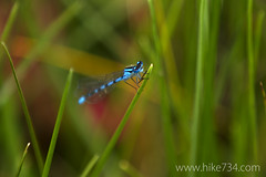 "Damselfly • <a style=""font-size:0.8em;"" href=""http://www.flickr.com/photos/63501323@N07/14758062496/"" target=""_blank"">View on Flickr</a>"