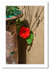 Hidden Nasturtium (Travels with a dog and a Camera :)) Tags: county ireland flower art digital photoshop al republic pentax july eire kerry cc ii 1855mm 55 smc 2009 nasturtium lightroom countykerry 2014 republicofireland f3556 pentaxda k20d justpentax pentaxk20d pentaxart smcpentaxda1855mmf3556alii photoshopcc2014 lightroom55