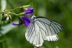 Aporia crataegi (imanh) Tags: white butterfly insect vlinder iman groot witje aporia crataegi heijboer blackveined geaderd imanh