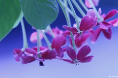 _Q9R5264-0 (Dream Deliver) Tags: flower ngc creeper rangoon quisqualisindica