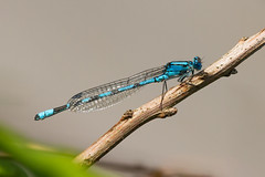 Common Blue Damselfly (Trond Strmme) Tags: oslo dragonfly damselfly commonbluedamselfly enallagmacyathigerum bjerke northernbluet yenstikker commonbluet rvoll isdammen wildlifewednesday storblvannymfe vannnymfe