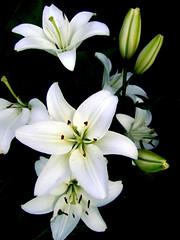 White Lily (irishishka) Tags: white black flower nature garden lily flowerwatcher