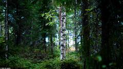 Forest (ErikN86) Tags: trees forest sony skog bjrk tamron norrland a300 sonydslr