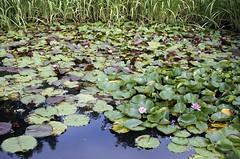 Water lilies, Lauritzen Gardens parking lot (ali eminov) Tags: gardens nebraska waterlilies omaha ponds botanicalgardens lauritzengardens