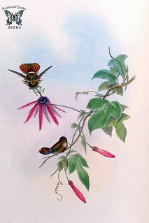 Passiflora kermesina. A monograph of the Trochilidæ, or family of humming-birds, vol. 3 (1861) [J. Gould & H.C. Richter]