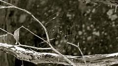 Cobweb (Christine Amherd) Tags: blackandwhite bw white black creativity blackwhite australia victoria cobweb sw vic australien ine schwarzweiss weiss schwarz passionate rockformation macedonranges blackhill kyneton mypassion schwarzundweiss ridgetrack christinescreativityphotography christinesphotography