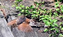DSC_0221 (rachidH) Tags: nature birds nj wren sparta oiseaux carolinawren thryothorusludovicianus troglodytedecaroline rachidh