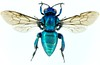 abeja de las orquídeas (Mostly Tim) Tags: insect bolivia bee abeja insekt bolivien biene insecto santacruzdelasierra euglossini prachtbiene orchideenbiene